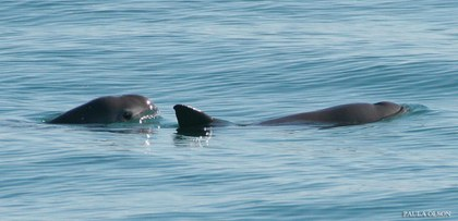 foto vaquita marina.jpg