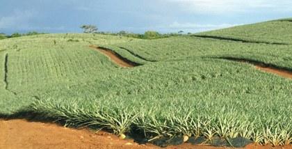 manejo-de-suelo-en-el-cultivo-de-pina.jpg