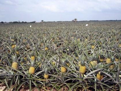 Piña fruto.jpg
