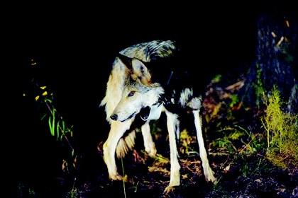 Liberacion de lobos.jpg